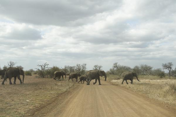 elefantenherde die die strasse ueberqueren krueger