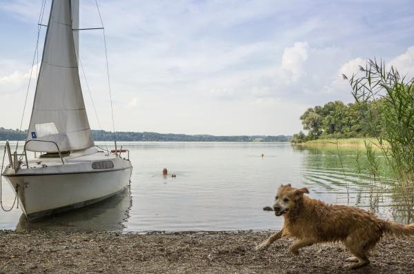 golden retriever und segelboot am see