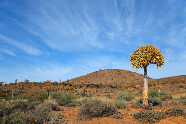koecherbaumlandschaft suedafrika
