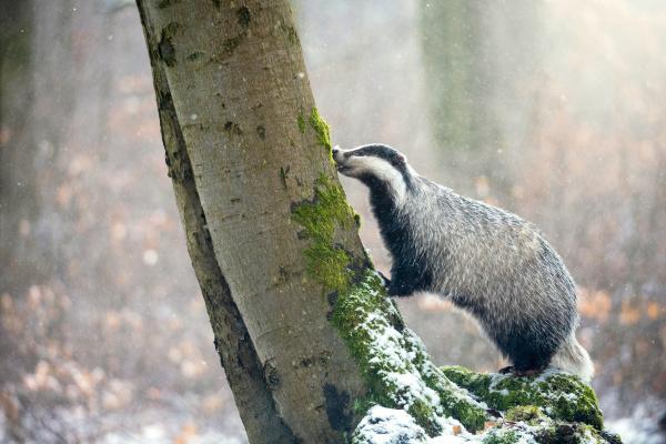 european badger klettert in einem verschneiten