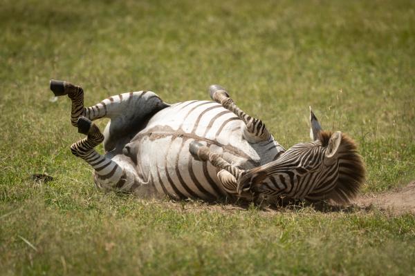 plains, zebra, enjoying, dust, bath, on - 28257556