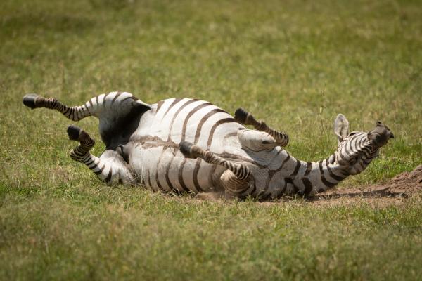 plains, zebra, enjoys, dust, bath, on - 28257558