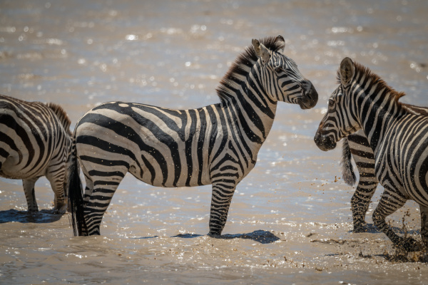 plains, zebra, stands, as, others, cross - 28257471