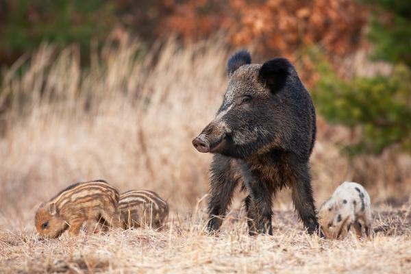 friedliche wildschweinherde mit erwachsenen und jungen