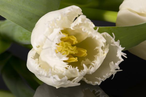 einzelne blume der weissen gezackten tulpe
