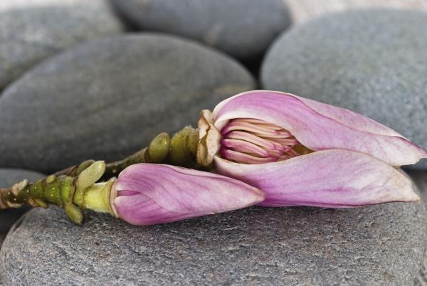 magnolienbluete und grauer kieselstein