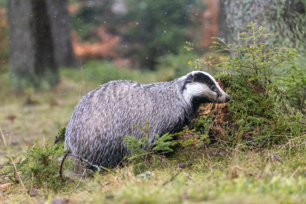 european badger im wald