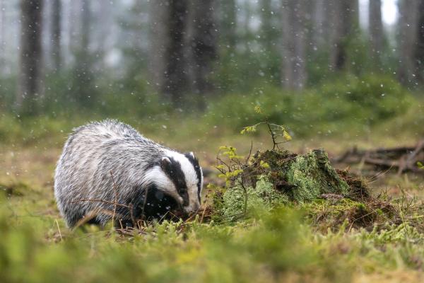 european badger sucht nach nahrung