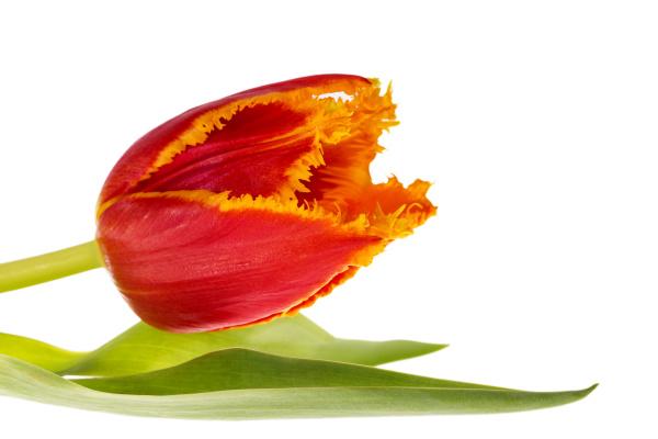 einzelne blume der gezackten tulpe isoliert