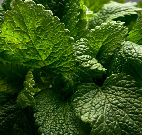 haufen gruener frischer minze duftende wuerze
