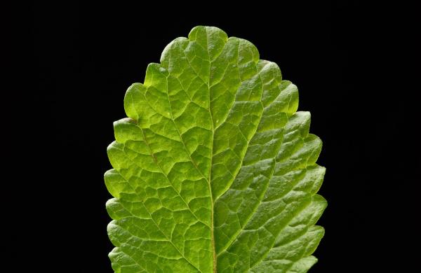 blatt gruene frische minze duftende wuerze