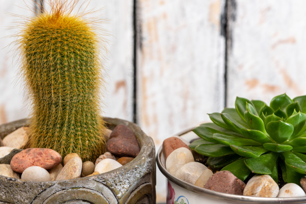 prickly, pears, and, succulents, in, small - 28414371