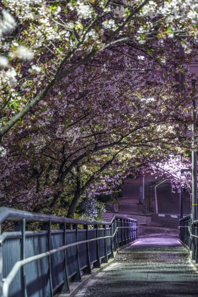 tunnel der kirschblueten