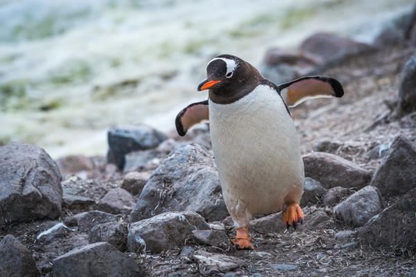 gentoo pinguin laeuft durch felsen mit