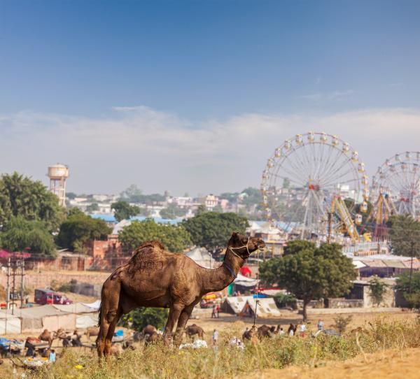 camels, at, pushkar, mela, (pushkar, camel - 28467674