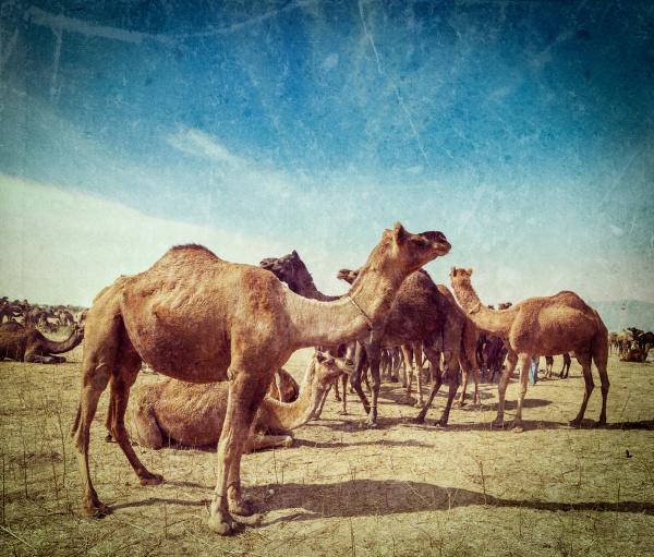kamele auf der pushkar mela