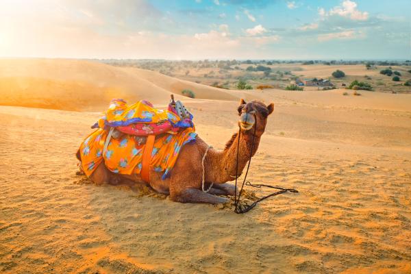 indisches kamel in sandduenen der thar