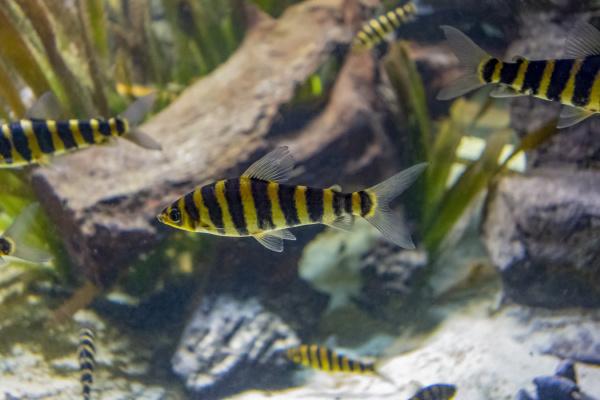 gebaenderte leporinusfische