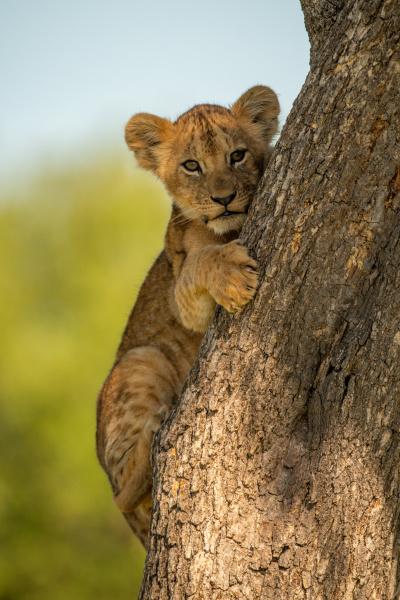 lion, cub, hugs, tree, while, eyeing - 28578885