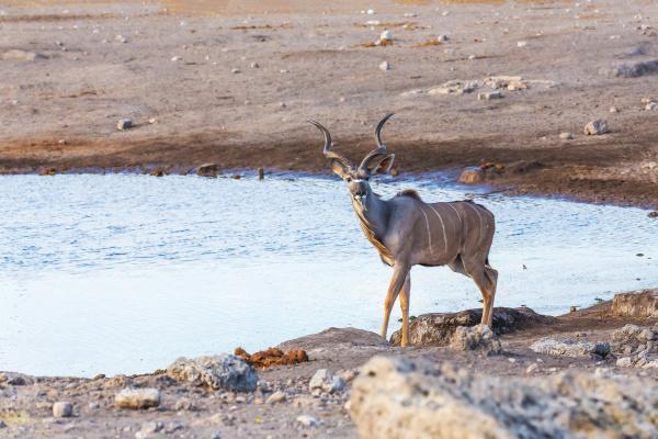 groessere kudu afrika safari tierwelt und
