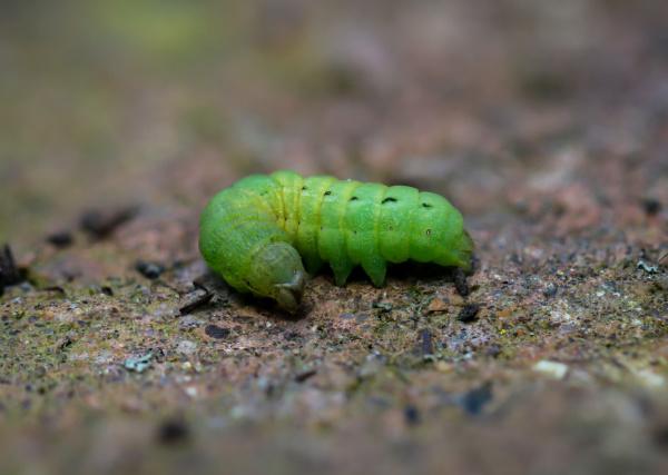 ein gruener engel eine larve eines