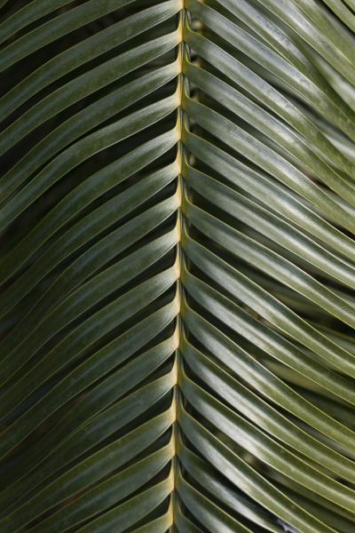 nahaufnahme gruenes palmblatt
