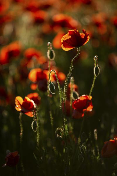 rote mohnblumen im feld bei sonnenuntergang