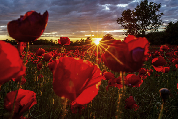 rote mohnblumen wachsen im feld bei