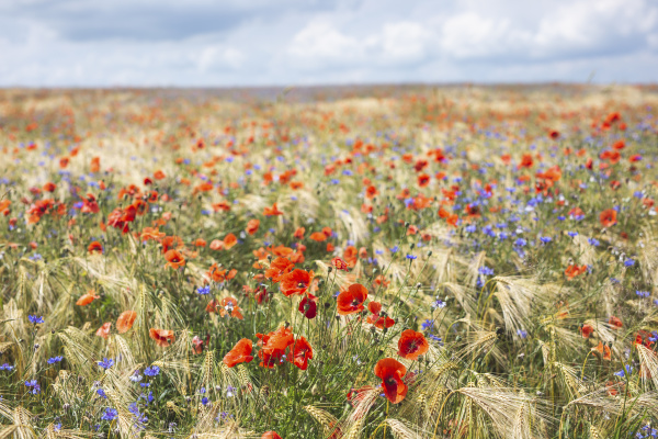 mohnblumen und kornblumen bluehen auf der