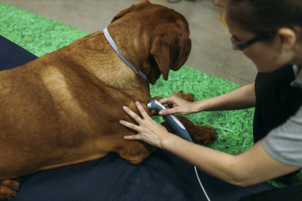 physiotherapeut in laserbehandlung fuer alten labrador