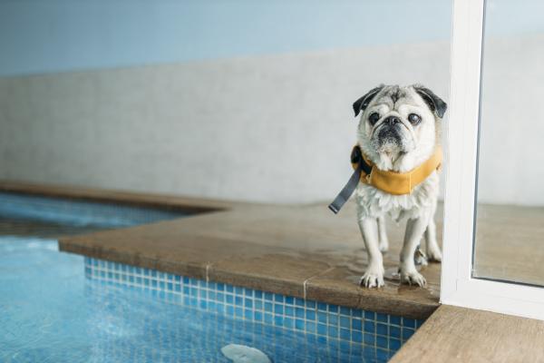 mops hund traegt schwimmweste von schwimmbad