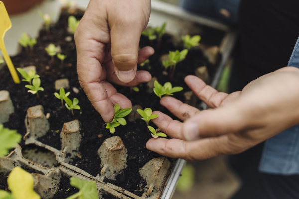 close, up, of, man, examining, seedlings - 28748317
