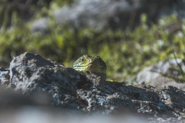 nahaufnahme der gruenen eidechse auf felsen