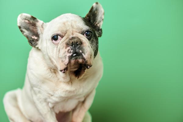 studioportraet der weissen franzoesischen bulldogge