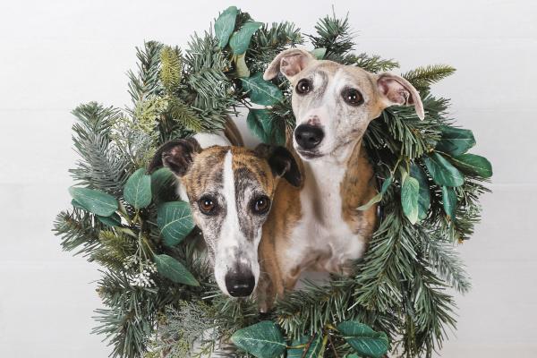 nahaufnahme von hunden mit gruenem weihnachtskranz