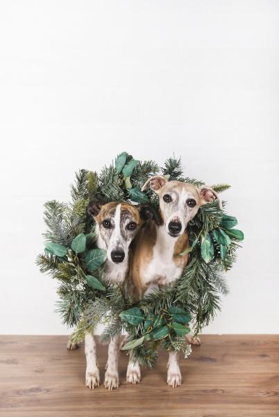 gruener weihnachtskranz um hunde auf hartholzboden