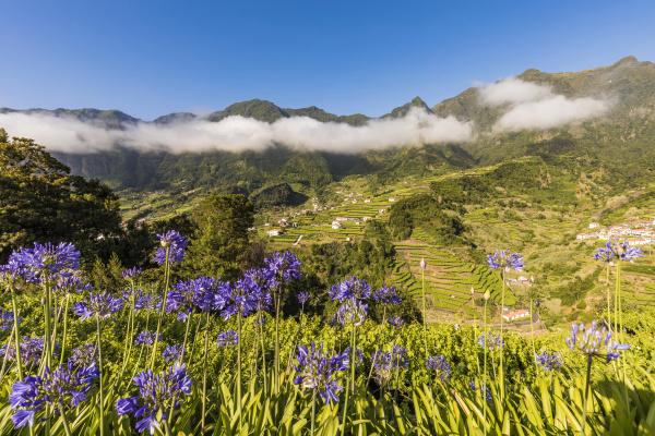 portugal sao vicente agapanthus blumen bluehen