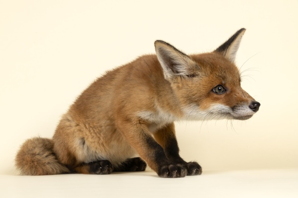 saeugetiere fuchs 2020 32725