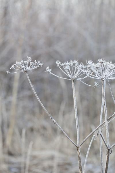zarte frostpflanzen an einem kalten wintertag