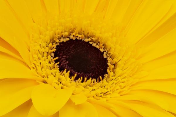 gerbera daisy gelb
