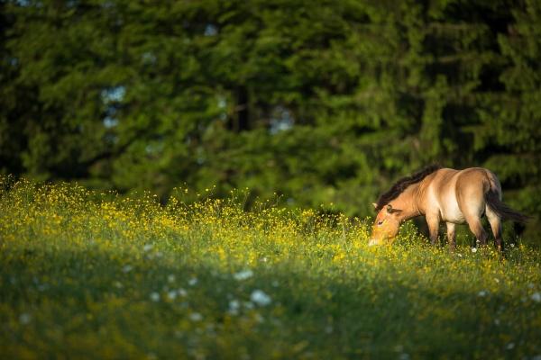 przewalski pferd grast auf einer schoenen