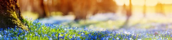 scilla blumen im park