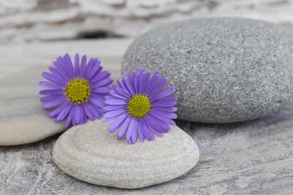 lila gaensebluemchen blume stillleben
