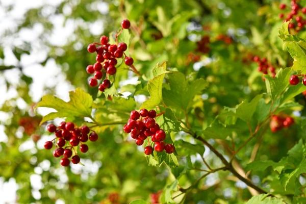 rote fruechte des virburnum opulus