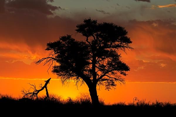 afrikanischer sonnenuntergang mit silhouettenbaum