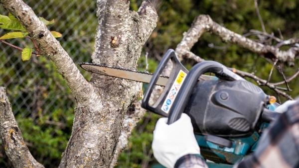 landwirt beschnitt im herbst einen kirschbaum
