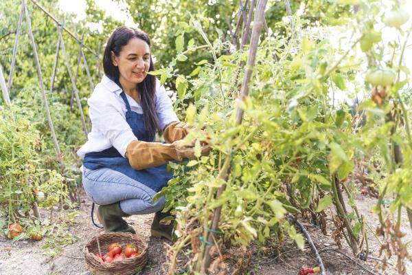 glueckliche frau erntet frische bio tomaten