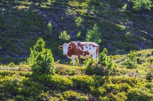 kuh steht am berg bei turracher