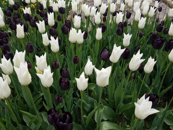 tulipa koenigin der nacht schwarze krawatte