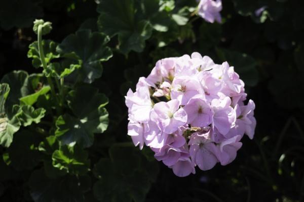 sorten sommer pflanze verkauf und anzeige